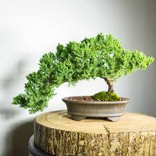 bonsai tree for office. Bonsai Tree For Office E