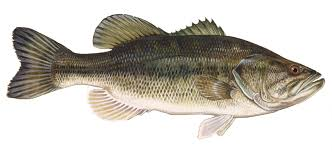 Types Of Bass Fish Chart Fish Species New Melones