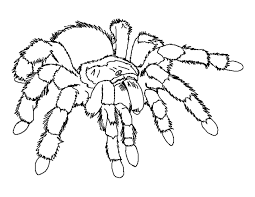 Small Picture Coloring Pages Animals Goliath Tarantula Coloring Page Spider