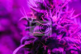 Fototapete Knospe Cannabis Pflanzen Unter Der Modernen LED Beleuchtung