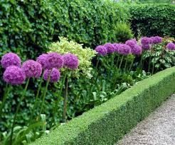 Formal Garden With Boxwoods And Allium Plants Allium Yards And
