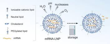 Like pfizer's and moderna's mrna vaccine, cvncov teaches our cells how to make a protein—or even just a piece of a protein—that triggers an immune response inside the body. Mrna Lipid Nanoparticle Covid 19 Vaccines Structure And Stability Sciencedirect