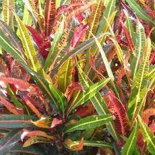 croton codiaeum queensland gardening pages plants gardens in brisbane qld brisbane office plants