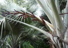 fan palm trees. a beautiful crimson rachilla on this amazing fan palm (over meter long!) trees