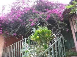 veranera tree
