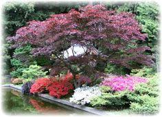 Small Picture Red Dragon Japanese Maple Garden Dreams Pinterest Red dragon