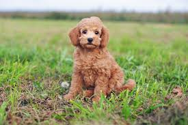 cute red toy poodle puppy sitting outdoors on green gr