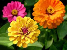 <b>Циния</b>: когда сажать, выращивание из семян, посадка и уход в ...