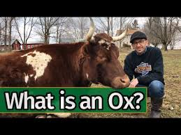 An ox is a bull that has been castrated. Oxen Basics What Is An Ox Youtube