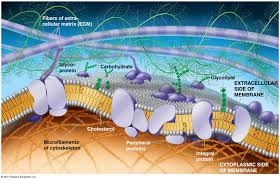 the plasma membrane structure anatomy physiology the plasma membrane
