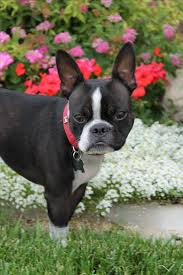 3108 best My Boston Terrier Obsession images on Pinterest ...