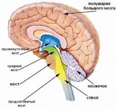 РЕФЕРАТ Структурно функциональная организация больших полушарий  Также головной мозг разделяют на 3 части большие полушария ствол мозга мозжечок