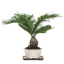 ... Large-size of Cordial Sago Palm Bonsai Sago Palm Home Depot in Indoor  Palm Plants ...