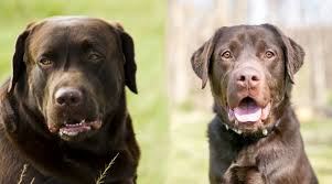 English Labrador Weight Chart By Age English Labrador Vs American Labrador Whats The Difference