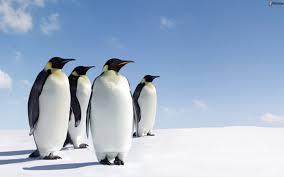 Risultati immagini per immagine pinguini