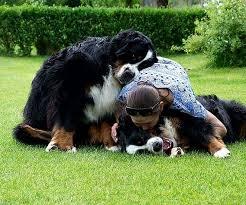 Group Hug Dogs Bermese Mountain Dog Cute Dogs