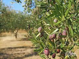 """Résultat de recherche d'images pour """"champ d oliviers en grece"""""""