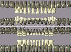 Teeth Numbers Chart Usa Dental Notation Wikipedia