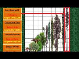 Oak Tree Comparison Chart Tallest Tree Height Comparison