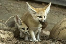baby fennec fox.  Fennec Fennec Foxes Have Secret Babies At Israeli Safari Park To Baby Fox