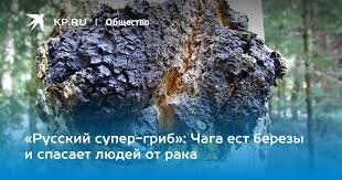 «Русский супер-<b>гриб</b>»: <b>Чага</b> ест березы и спасает людей от рака