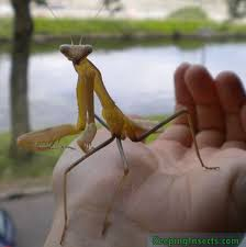 Giant Asian Mantis Hierodula Membranacea Keeping Insects