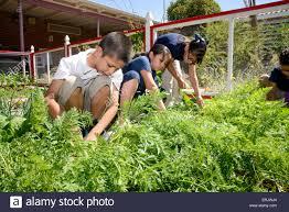 manzo elementary school students work in the school s organic garden tucson arizona usa