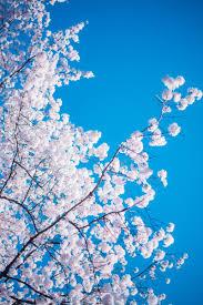 桜の木無料の写真素材はフリー素材のぱくたそ