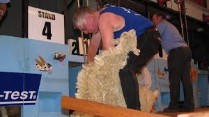 Golden Shears: Open shearing event entries soar - NZ Herald