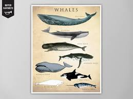 Whale Chart Species Whale Chart Art Print Whale Species Natural History Poster Natural History Scientific Print Whale Chart Art Print Whale Chart Poster