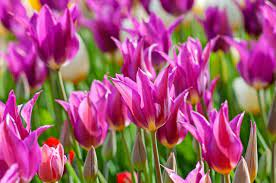 Tulips Bulbs to Plant for Spring Color