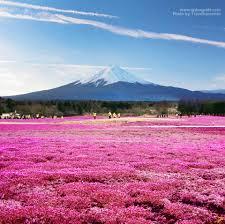 เที่ยวญี่ปุ่นเทศกาลดอกชิบะซากุระ Fuji Shibazakura Festival