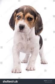 Portrait Beagle Dog Breed Isolated On ...