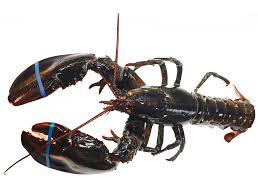 Live Canada Hardshell Lobster 1.5 LB ...