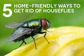 5 home friendly ways to get rid of houseflies the maids blog