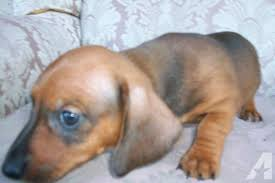 miniature dachshund puppies for phoenix az