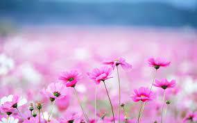 High Resolution Pink Desktop Wallpaper ...