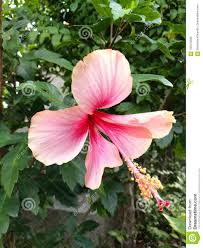 Light Pink Hibiscus Light Pink Hibiscus Closeup Stock Photo Image Of Design