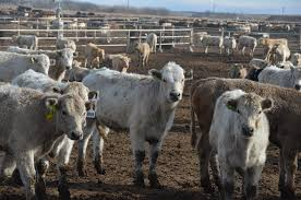 Feeder Cattle Index Chart In The Cattle Markets Feeder Cattle Odds And Ends Drovers