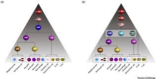 Hematopoietic Stem Cell Chart Hematopoietic Hierarchy An Updated Roadmap Trends In Cell
