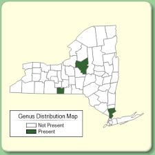 Polypogon - Genus Page - NYFA: New York Flora Atlas - NYFA ...