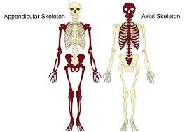 bone identification chart the axial appendicular skeleton teachpe com
