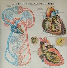 American Frohse Anatomical Charts Key Vintage American Frohse Anatomical Chart No 9 Medical Wall