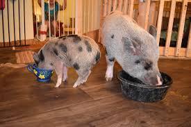 Mazuri Mini Pig Feeding Chart What Do You Feed Mini Pigs Avalonit Net