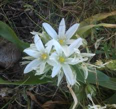 Ornithogalum montanum - Wikispecies
