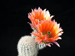 Image result for blooming cacti