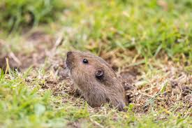 Image result for Gophers