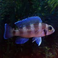 African Cichlid Aggression Chart African Cichlid Aggression Chart African Cichlid Aggression