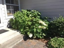 i trim my oakleaf hydrangea