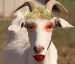 funny goat face